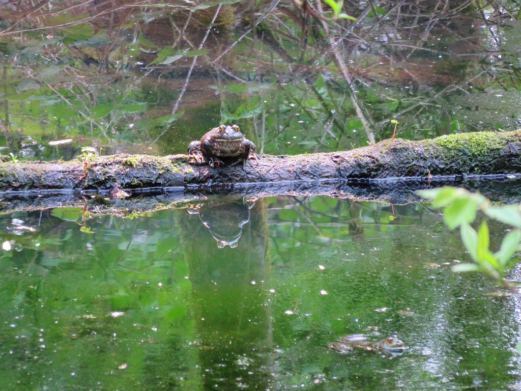 Bullfrogs in pond near Lacamas Lake
