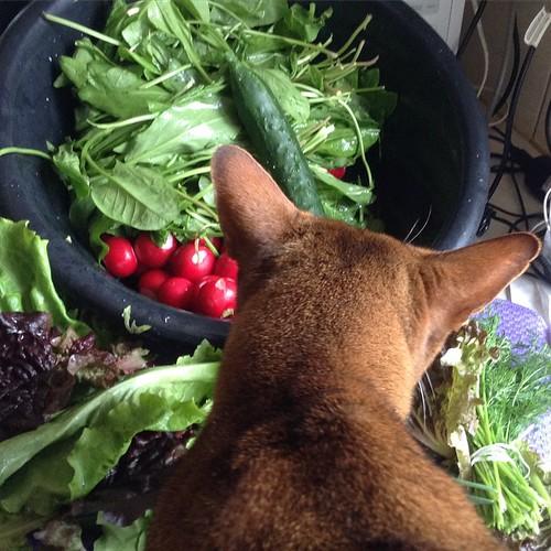 Тазик зелени и еще куча всего ценой в 90 р в базарный день. Кот тоже погрыз с интересом и покатал редиску))) #старыйкрым  #нездороваяпища