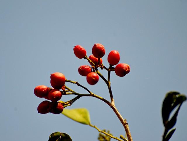 Kunti fruits_Murraya paniculata_Rutaceae_Pherozeshah Mehta_2016-05-06_ (5)