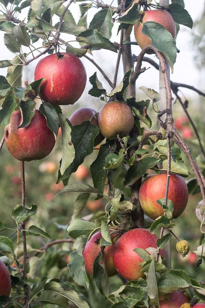 Æblemost (26)