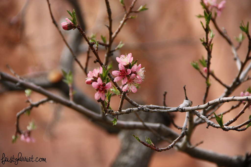 Capitol Reef Fruit Orchard_feistyharriet_March 2015 (1)