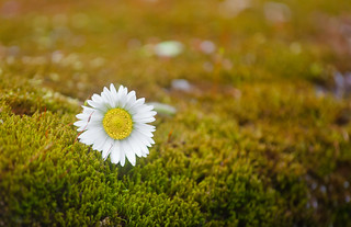 White Daisy Laying on the Moss