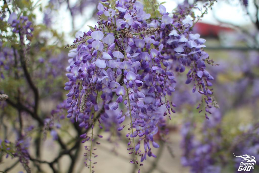 淡水紫藤咖啡園20