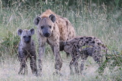 spotted_hyena_2