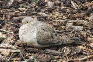 Birdwatching - Morning Dove