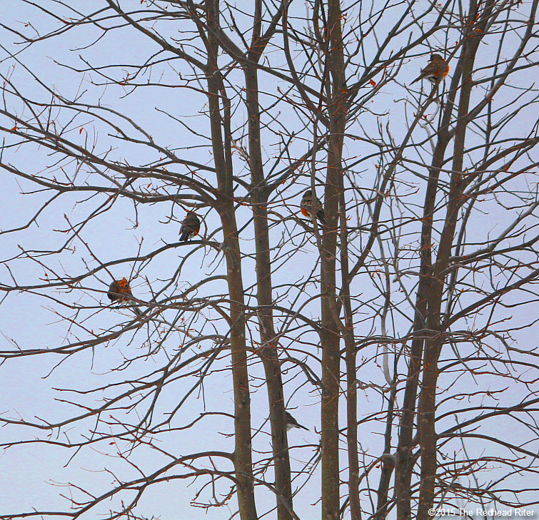 many American Robin redbreast birds in tree Birds Of A Feather Flock Together 3