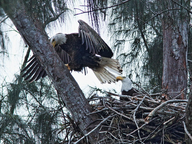 Bald Eagle female returns to roost above nest 20150316