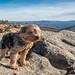 My Windswept Yorkie on the Appalachian Trail by Michael Speed