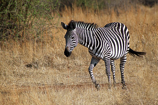 Plains Zebra: Equus quagga