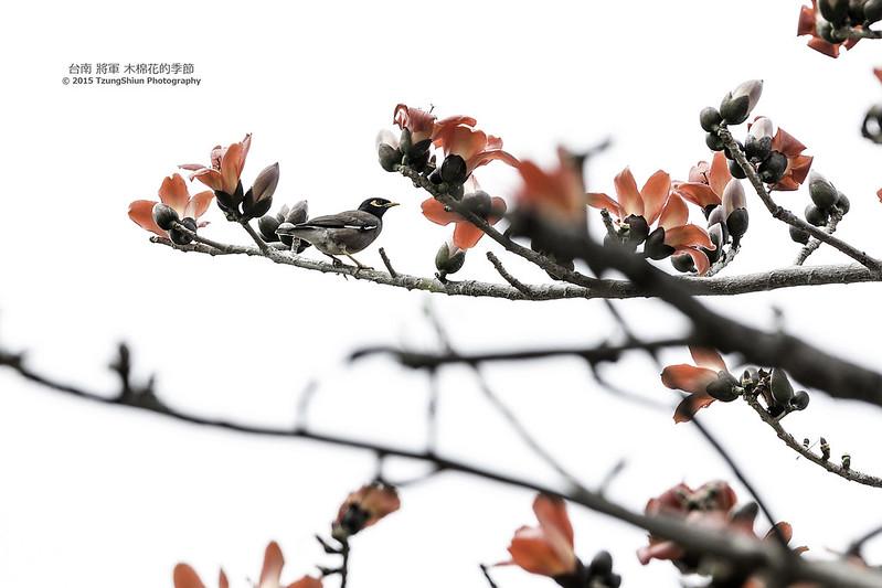 台南 將軍 木棉花的季節