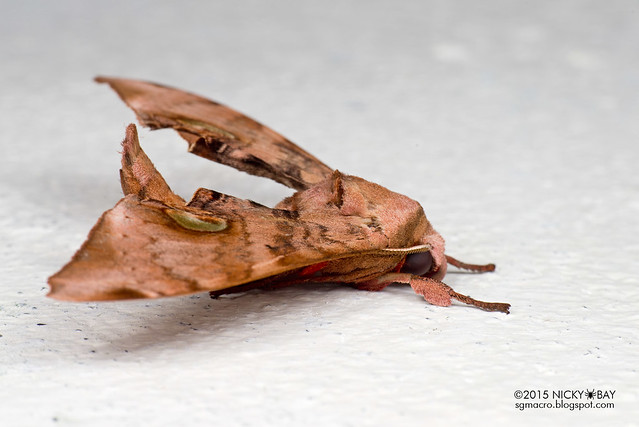 Common hawk moth (Daphnusa ocellaris) - DSC_5386