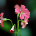 Oxalis Corymbosa 紫花醡醬草 by lfeng1014