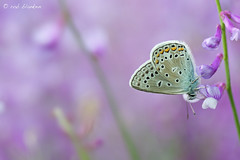 False Eros Blue (Polyommatus eroides, Bremblauwtje)