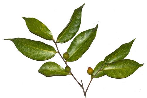 Ficus leptoclada  Malanda Falls  DSC_0352