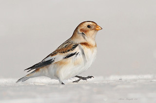 Plectrophane des neiges / Snow Bunting