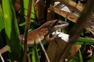 Lurking Lizard