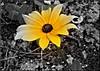 Yellow flower on black - Hilary Thompson