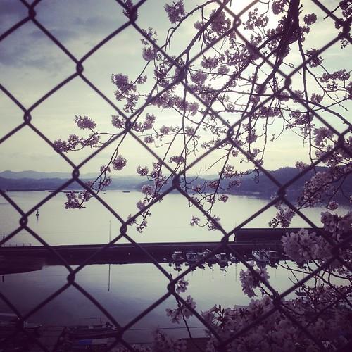 歌から朝の桜