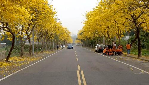 黃花風鈴木因為乾旱盛開。