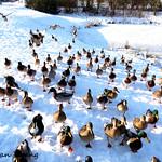 Duck attack !