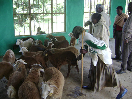 'Ram selection committee' select breeding rams for the cooperative breeding group in Tigray, Ethiopia.