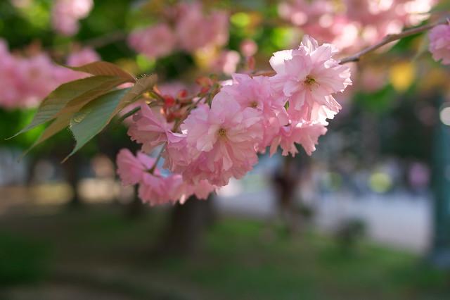 20160514北海道庁の桜_03