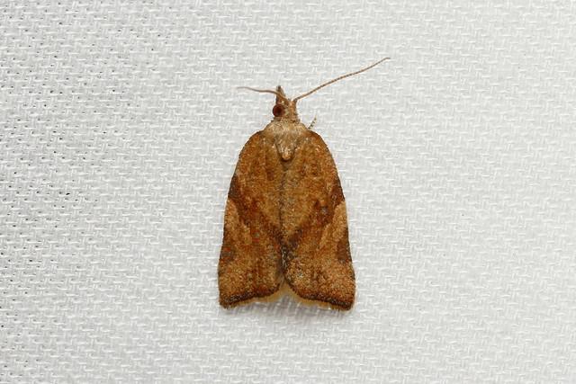 Argyrotaenia franciscana (Orange Tortrix Moth) Hodges # 3612