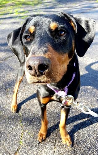 Happy Gotcha Day 1 Year Anniversary Penny! #DobermanMix #AdoptDontShop #RescuedDog #LapdogCreations ©LapdogCreations