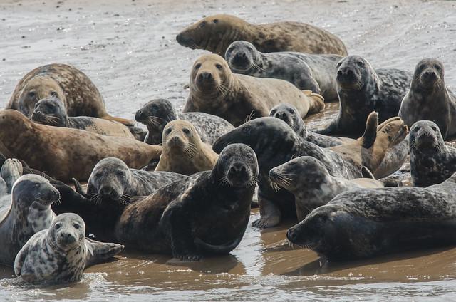 Grey Seals on Seal Sands