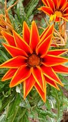 Flores de sol