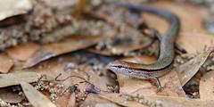 Ground Skink, Aripeka Sandhills Preserve