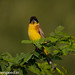 uttampegu posted a photo:	Black Headed Bunting in Udaipur, Rajasthan, India