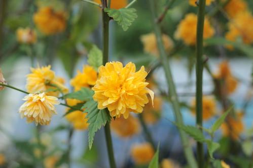 Kerria japonica - corète du Japon 16587988454_21db05127d