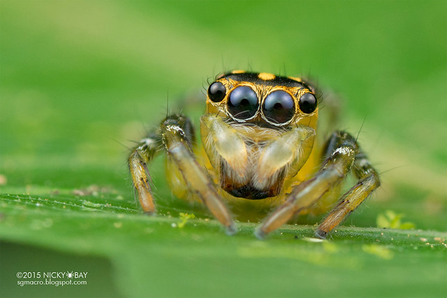 Jumping spider (Salticidae) - DSC_3170
