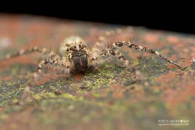 Nursery web spider (Pisauridae) - DSC_3831