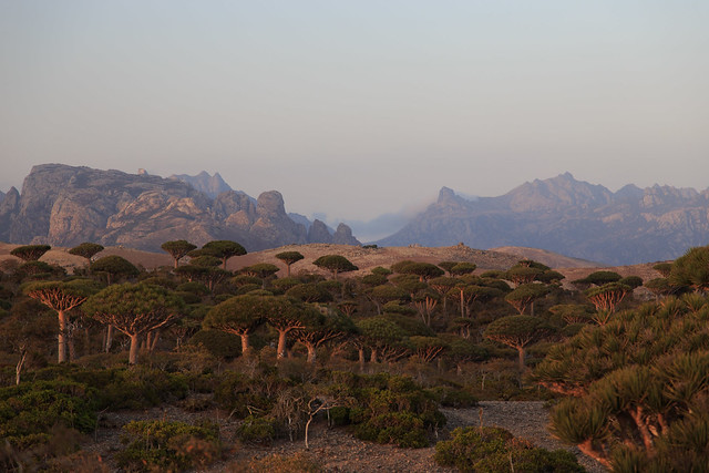 Centennial Dragon blood trees at dawn on Firmhin Plateau, Socotra, Yemen