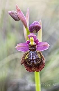 ophrys x heraultii