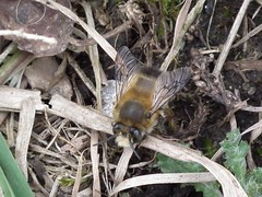 Hairy-footed Flower Bee - Anthophora plumipes