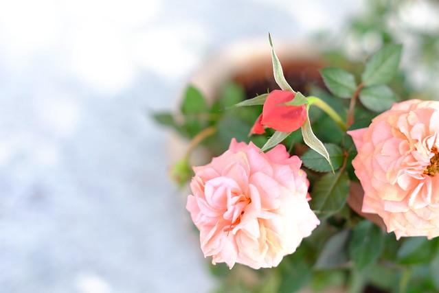 нежнорозовые цветы