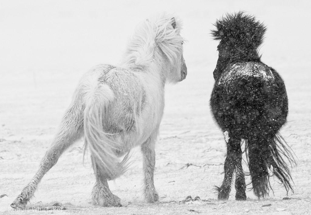 Black and White Icelandic Horses Winter