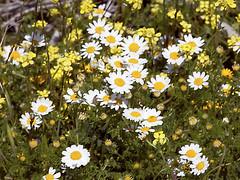 annual plant, flower, field, yellow, plant, marguerite daisy, chamaemelum nobile, tanacetum parthenium, daisy, wildflower, flora, oxeye daisy, meadow, daisy,