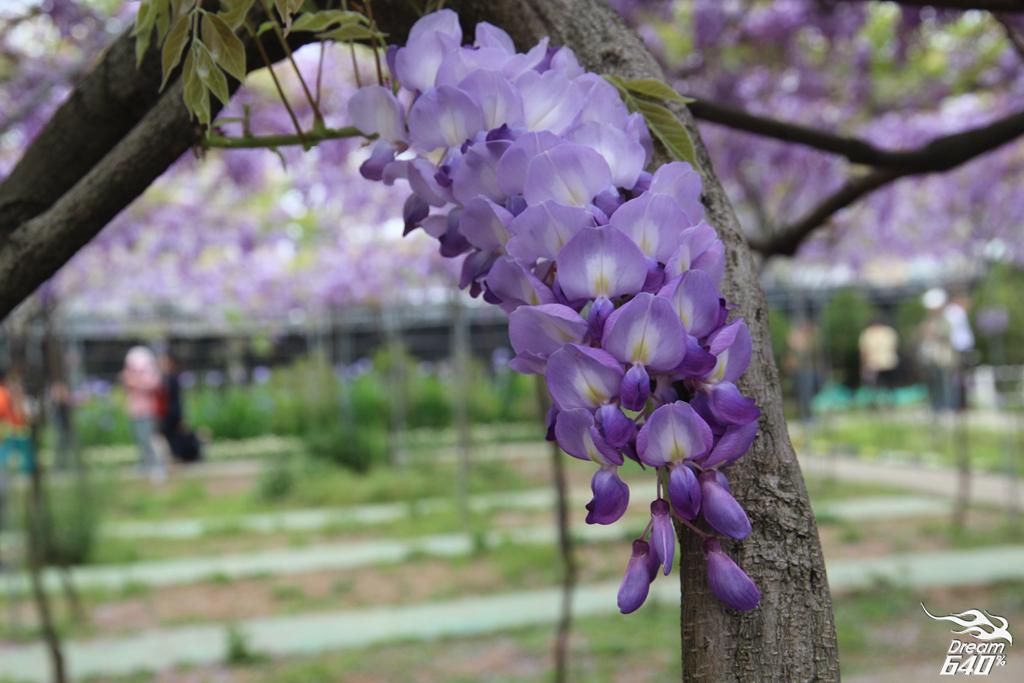 淡水紫藤咖啡園22