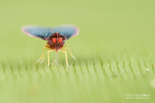 Derbid planthopper (Derbidae) - DSC_4623