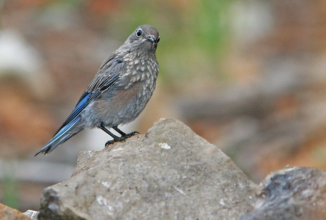 2 Western Blue Bird_7892