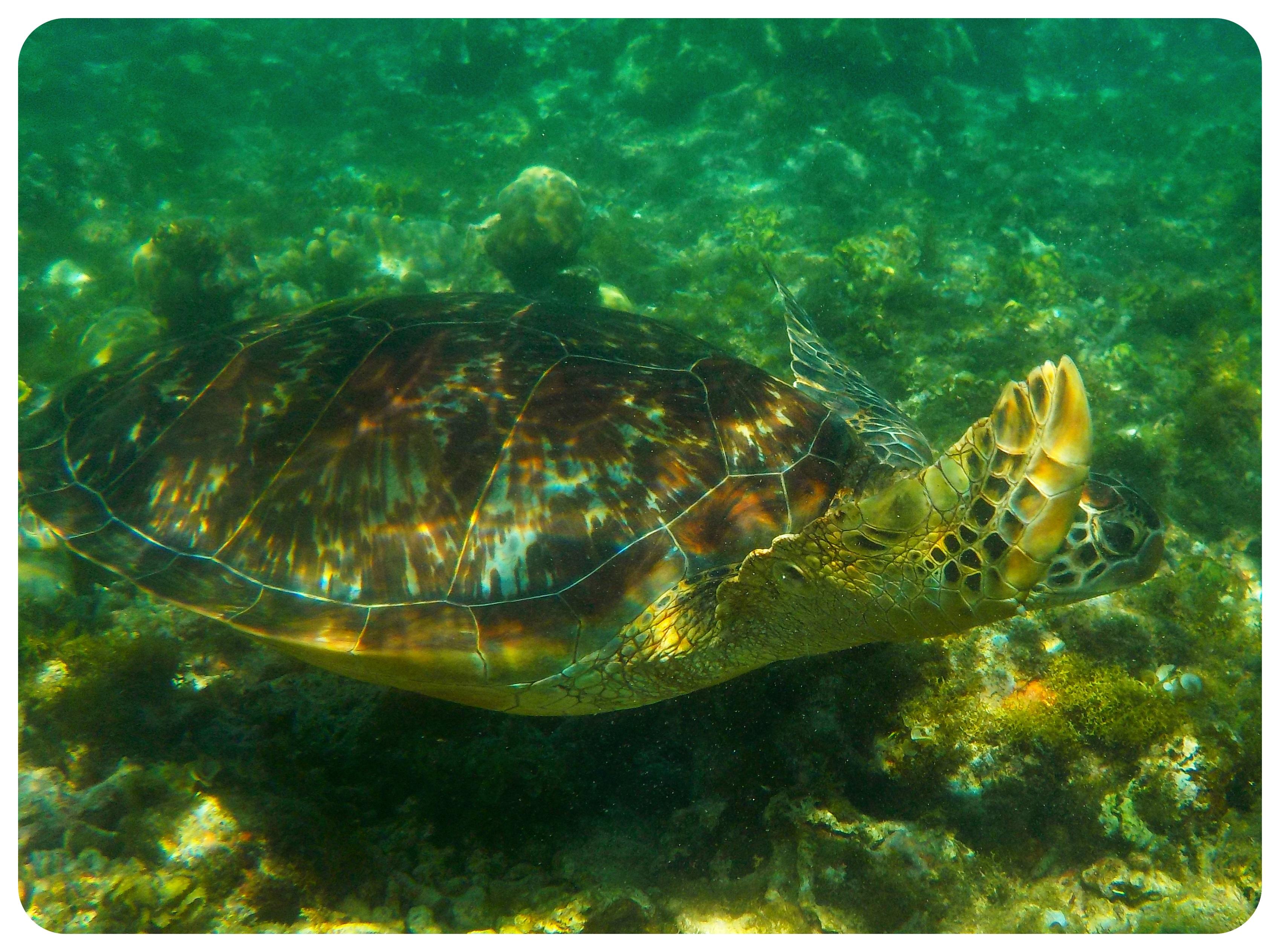 apo island turtle3