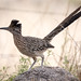 Greater Roadrunner (no sign of coyote)