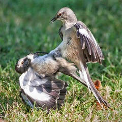Sibling rivalry?    I'm lounging in a chair on my porch, watching the charcoal glower in my grill, when a pair of Mockingbirds and a big ol' Blue Jay tumble into my front yard. The former double-teaming the latter.    Their screeching echoed through the n