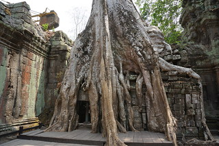 Ta Prohm tree growing over stones