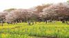 Photo:IMG_1084 国営昭和記念公園 花畑 By vicjuan
