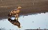 Tawny eagle with its reflection